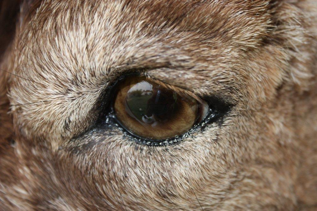 Ibex Eye