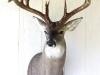 180 Class Whitetail Deer