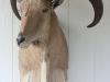 Aoudad (Barbary) Sheep